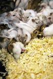 Wizerunek chomik śpi wpólnie pet zwierzęta obraz royalty free