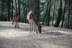 Wizerunek czerwoni deers w jesień lasu krajobrazie zdjęcie royalty free