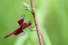 Wizerunek czerwony dragonflies Camacinia gigantea zdjęcie royalty free