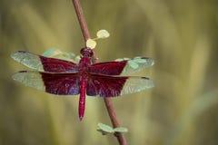 Wizerunek czerwony dragonflies Camacinia gigantea obraz stock