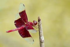 Wizerunek czerwony dragonflies Camacinia gigantea zdjęcia royalty free