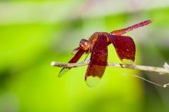 Wizerunek czerwony dragonfly na naturalnym tle Zdjęcia Stock