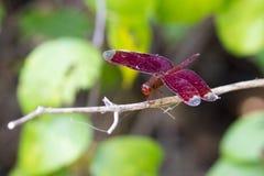 Wizerunek czerwony dragonfly na naturalnym tle Zdjęcie Royalty Free