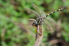 Wizerunek DragonflyGomphidae łasowania dragonfly na gałąź Obraz Stock