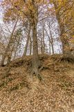 Wizerunek drzewa z ich odsłoniętymi korzeniami po środku lasu zdjęcia royalty free