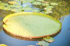 Wizerunek giganta Wiktoria lotos w wodzie, Wiktoria waterlily, ama obrazy stock