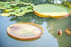 Wizerunek giganta Wiktoria lotos w wodzie, Wiktoria waterlily, ama fotografia royalty free