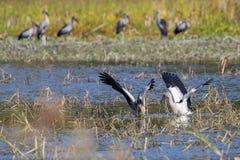 Wizerunek gromadzi się azjatykciego openbill bociana dzikich zwierząt zdjęcia royalty free
