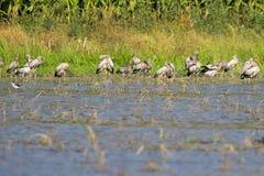 Wizerunek gromadzi się azjatykciego openbill bociana dzikich zwierząt obraz royalty free