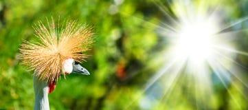 Wizerunek koronowany żuraw w parkowym zakończeniu zdjęcia royalty free