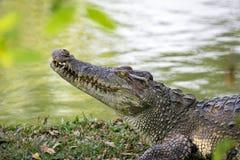 Wizerunek krokodyl na trawie Obrazy Stock