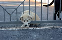 Wizerunek młody biały szczeniaka pies patrzeje za płotowymi barami Obrazy Royalty Free