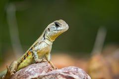 Wizerunek Motyli Agama jaszczurki Leiolepis Cuvieron natury tło Obraz Royalty Free