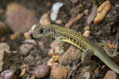 Wizerunek Motyli Agama jaszczurki Leiolepis Cuvieron natury tło Zdjęcia Royalty Free