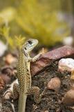 Wizerunek Motyli Agama jaszczurki Leiolepis Cuvieron natury tło Fotografia Royalty Free