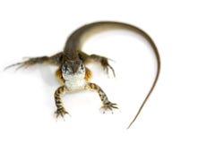 Wizerunek Motylia Agama jaszczurka Leiolepis Cuvier Zdjęcie Royalty Free