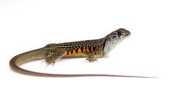 Wizerunek Motylia Agama jaszczurka Leiolepis Cuvier Zdjęcia Royalty Free