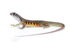 Wizerunek Motylia Agama jaszczurka Leiolepis Cuvier Zdjęcia Stock