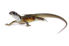 Wizerunek Motylia Agama jaszczurka Leiolepis Cuvier Obraz Stock