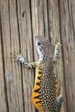 Wizerunek Motylia Agama jaszczurka Leiolepis Cuvier Fotografia Stock