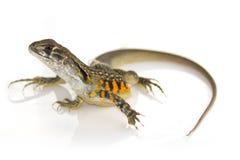 Wizerunek Motylia Agama jaszczurka Leiolepis Cuvier na bielu plecy Zdjęcia Stock