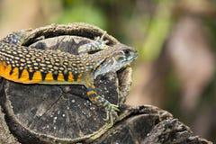 Wizerunek Motylia Agama jaszczurka Leiolepis Cuvier na natury bac Zdjęcia Royalty Free