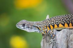 Wizerunek Motylia Agama jaszczurka Leiolepis Cuvier na natury bac Obrazy Royalty Free