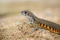 Wizerunek Motylia Agama jaszczurka Leiolepis Cuvier na piasku Fotografia Royalty Free