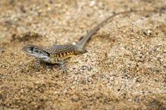 Wizerunek Motylia Agama jaszczurka Leiolepis Cuvier na piasku Obrazy Royalty Free