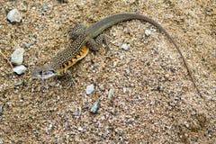 Wizerunek Motylia Agama jaszczurka Leiolepis Cuvier na piasku Fotografia Stock