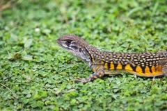 Wizerunek Motylia Agama jaszczurka Leiolepis Cuvier na zieleni Obraz Royalty Free
