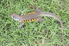 Wizerunek Motylia Agama jaszczurka Leiolepis Cuvier na zieleni Zdjęcie Royalty Free