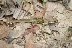 Wizerunek motylia agama jaszczurka & x28; Leiolepis Cuvier& x29; Zdjęcia Royalty Free