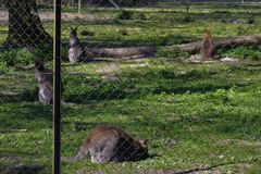 Wizerunek necked wallaby lub macropus rufogriseus obraz stock