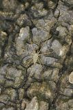 Wizerunek Ogoniasty SpiderHersilia sp matować na drzewie Obrazy Royalty Free