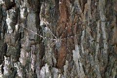Wizerunek Ogoniasty SpiderHersilia sp matować na drzewie insekt Fotografia Royalty Free