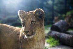 Wizerunek piękny lwa lisiątko z zadziwiać ono przygląda się obraz royalty free