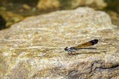 Wizerunek Pospolity Błękitny Biżuteryjny Dragonfly Helioeypha biforata Fotografia Royalty Free