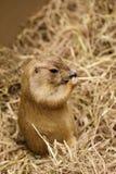 Wizerunek preryjny pies na suchej trawie pet dzikich zwierz?t obrazy royalty free
