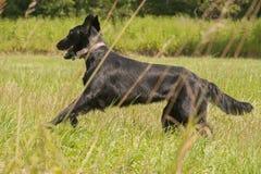 Wizerunek psa traken pokrywający aporter Zdjęcie Royalty Free