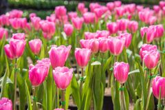 Wizerunek Różowy tulipanu kwiat Piękny tulipanu bukiet kolorowy obrazy royalty free