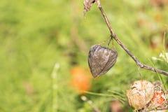 Wizerunek sucha pęcherzyca w ogródzie Obraz Royalty Free