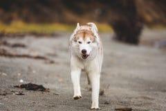 Wizerunek szczęśliwy, bezpłatny Syberyjskiego husky psa bieg na plaży przy nadmorski w jesieni i obraz royalty free