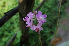 Wizerunku Spathoglottis plicata Blume, zmielona orchidea, kwiatonośne purpury kwitnie w ogródach obraz stock