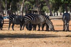 Wizyta safari Ramat Gan Zdjęcie Royalty Free