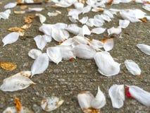 Wjite Fallen petals. Fallen petals on the ground Stock Photo