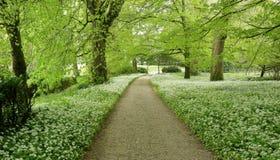 Wld garlic lining a woodland path Stock Photos