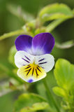 Wld Pansy Royalty Free Stock Images
