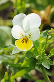 Wld Pansy Royalty Free Stock Photos