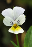 Wld Pansy Stock Photography